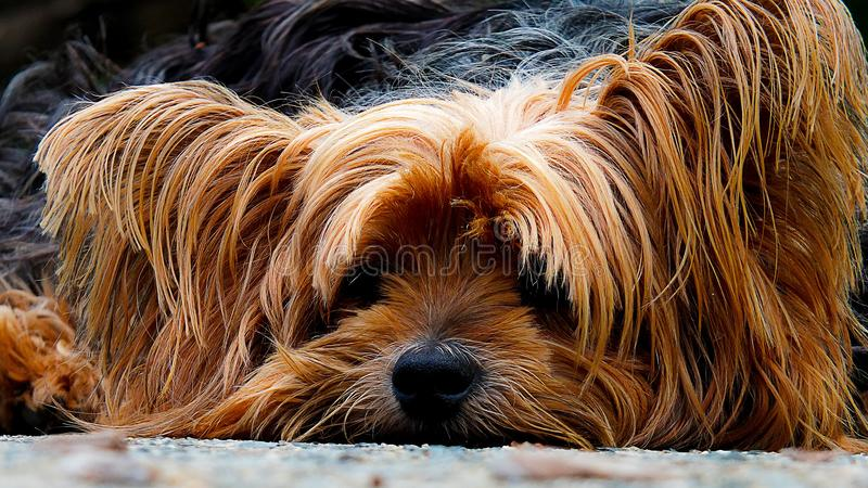Close Up Photo Brown Long Coat Dog royalty free stock images
