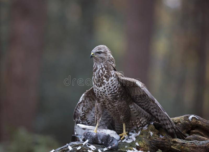 Close-up Photo of Brown Peregrine Falcon stock photography