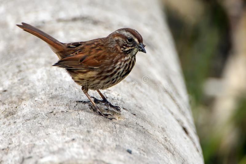 Close Up Photo of Brown Sparrow Bird royalty free stock images