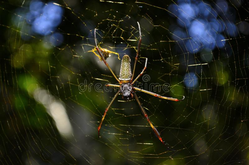 Close Up Photo of Brown and Yellow Garden Spider stock photos