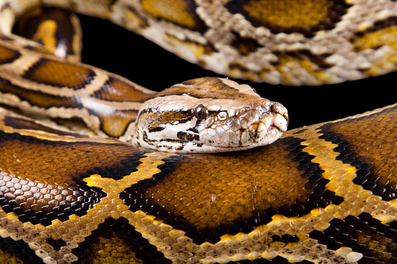 Close-up photo of burmese python royalty free stock photo