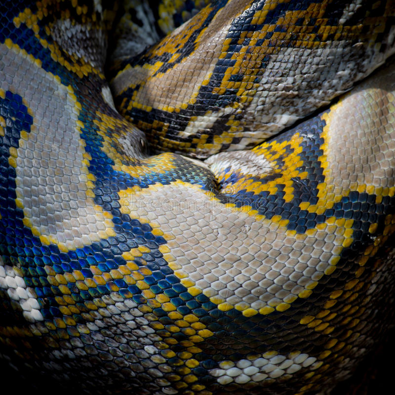 Close-up photo of burmese python (Python molurus bivittatus) iso stock image