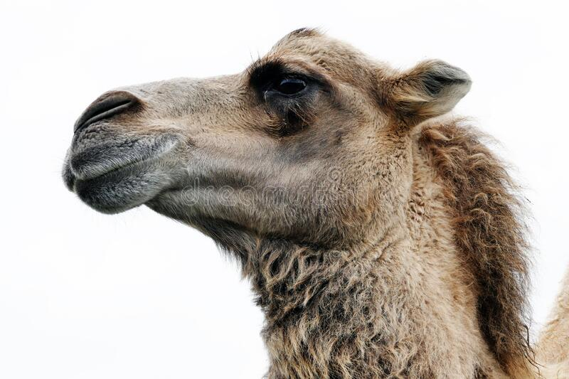 Close Up Photo of Camel stock photo