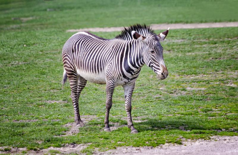 Close up photo of Chapman's zebra standing on green grass, equus quagga chapmani. It is natural background or wallpaper with. Wildlife animal. There is royalty free stock images