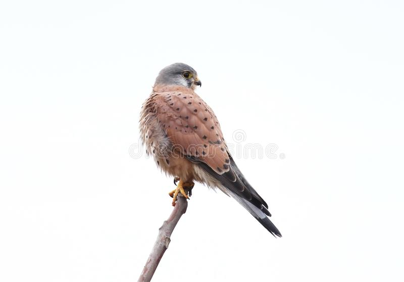 Close up photo of common kestrel isolated on white background. A bird sits on the branch stock image