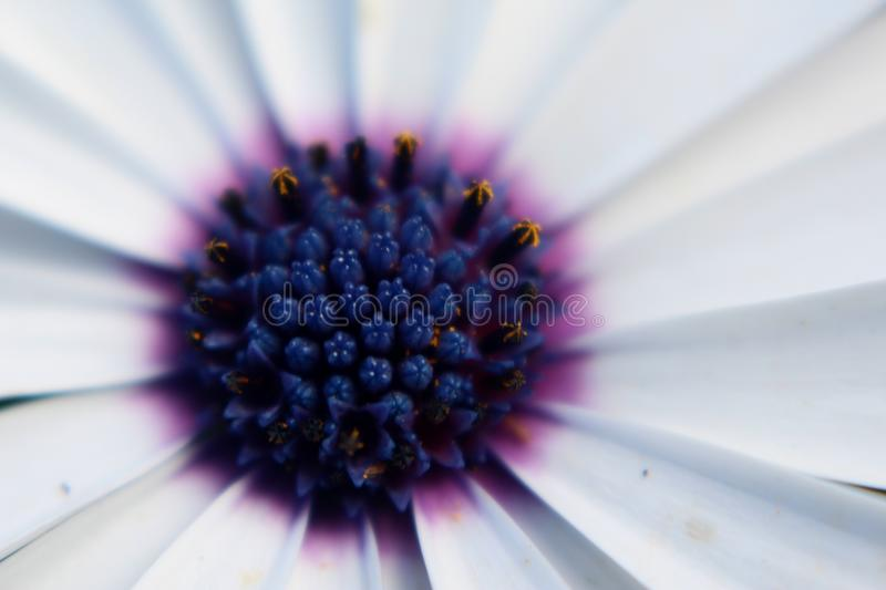 Purple daisy close up. A close up photo of a Daisy with pollen stock images