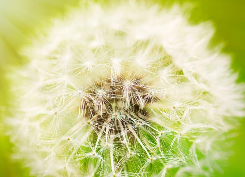 Close up photo. Of dandelion stock image