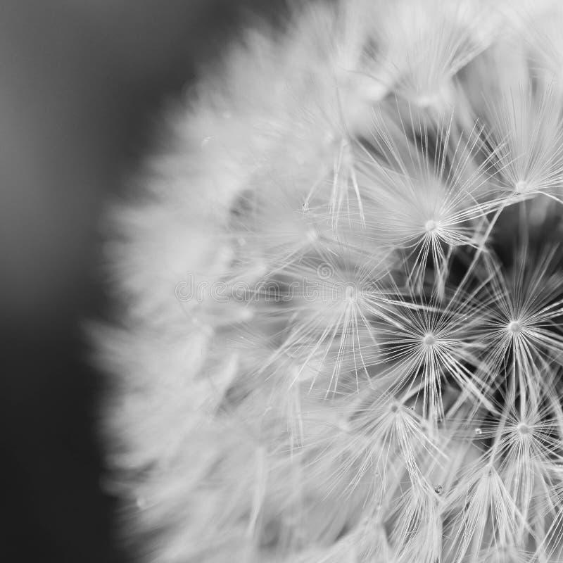 Close Up Photo Of Dandelion Free Public Domain Cc0 Image