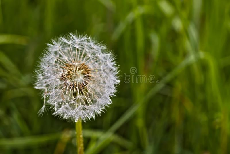 Close up photo of a dandelion against a blurred background of green grass. Close up photo of a dandelion`s white brown seeds and stem against a blurred royalty free stock photography