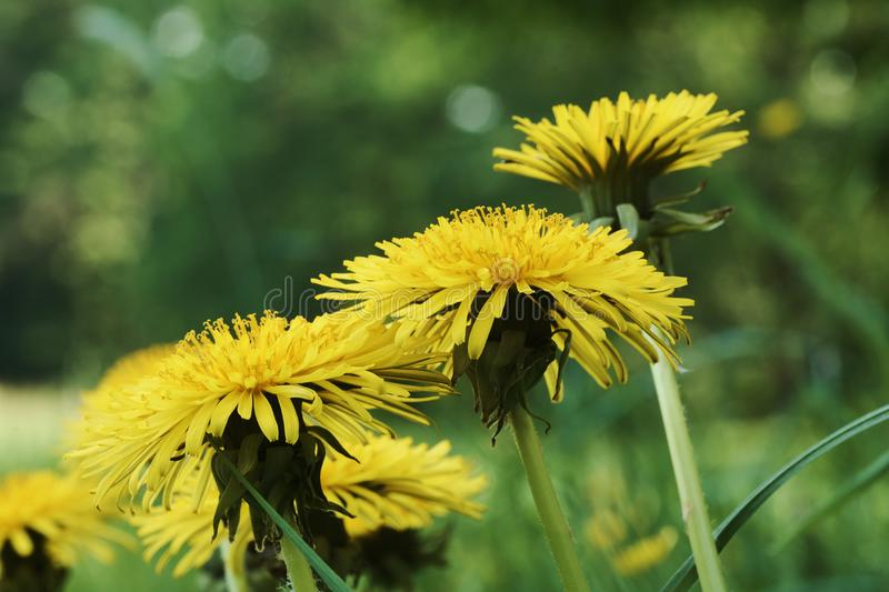 Close-up photo of dandelion blossoms in grass. Close-up photo of dandelion blossoms on meadow in grass stock photo