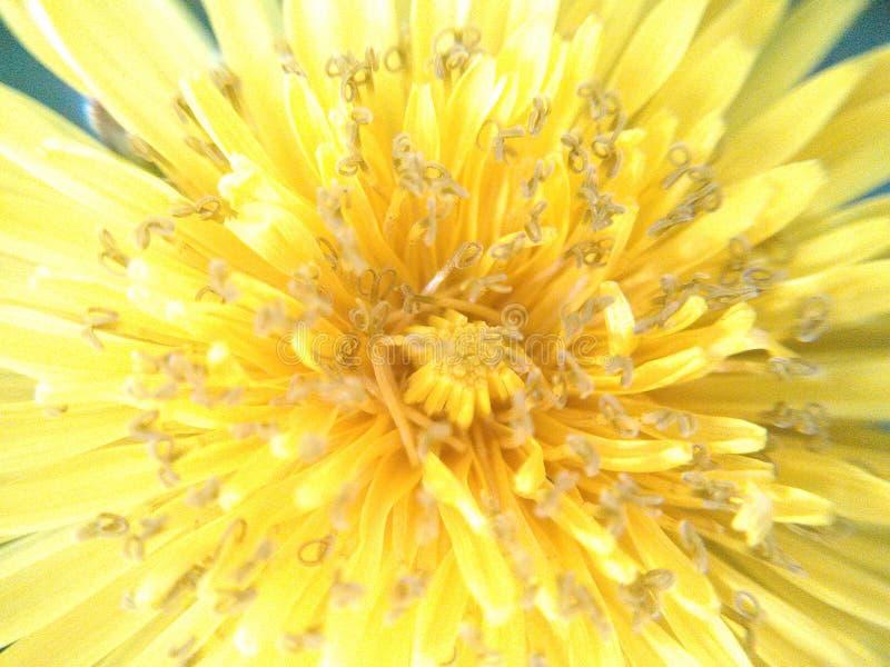 Dandelion up close stock images