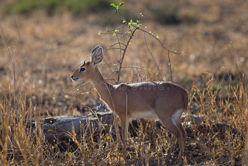 Close-up Photo of Deer royalty free stock image