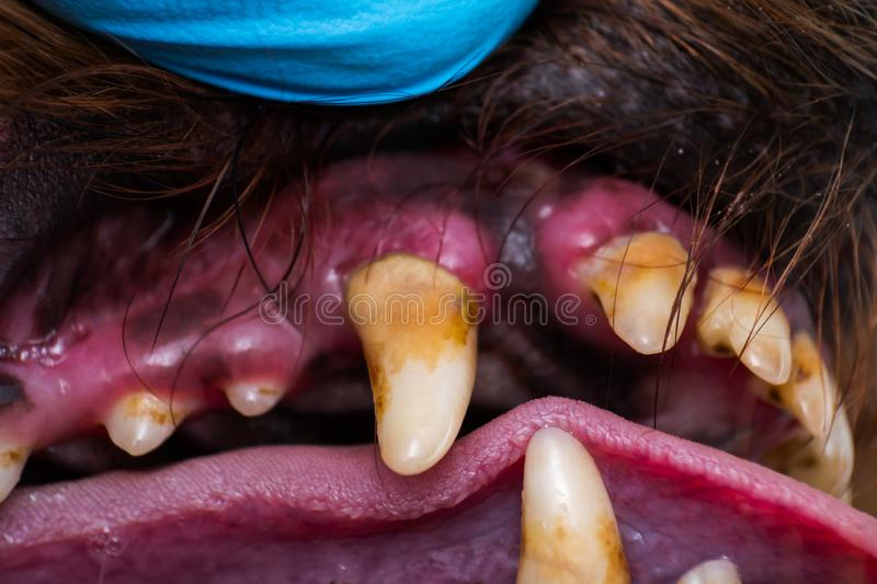 Close-up photo of dog teeth with bacterial plaque or tartar. V stock photo