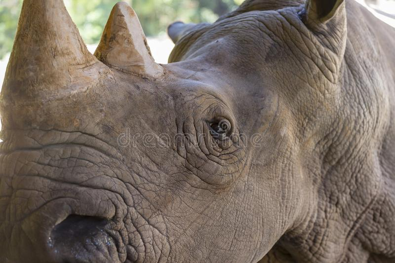 A close up photo of an endangered rhino, rhinoceros face,horn and eye. stock images