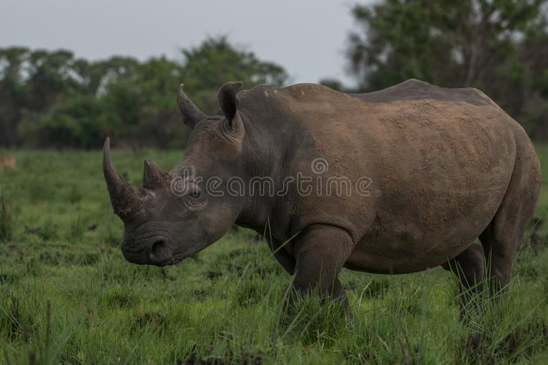 A close up photo of an endangered white rhino / rhinoceros face,horn and eye. South Africa royalty free stock images