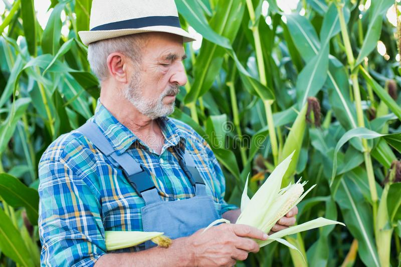 Close up of farmer examining corn crop growing in field royalty free stock images