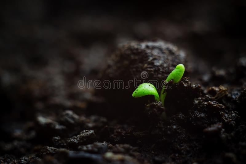 Close-up photo of fragile tiny microgreen seedling growing in organic soil, very first leaves of plant. Vitality concept stock image