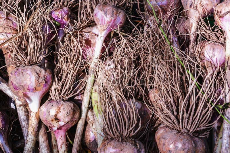 Close up photo of fresh garlic background texture. Agriculture, organic natural food concept royalty free stock photos