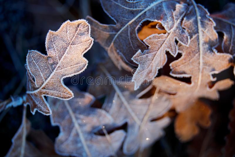 Frozen leaves. Close up Photo of frozen Winter leaves stock photography