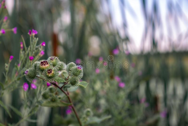 Close up photo of the green burdock near the lake. Blured background of leaves and little pink flowers stock image