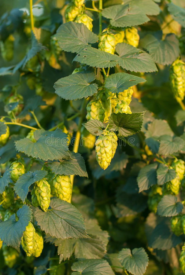 Close up photo of green hops stock image