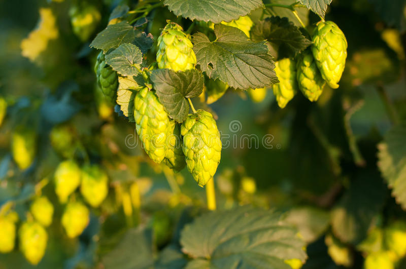 Close up photo of green hops royalty free stock photography