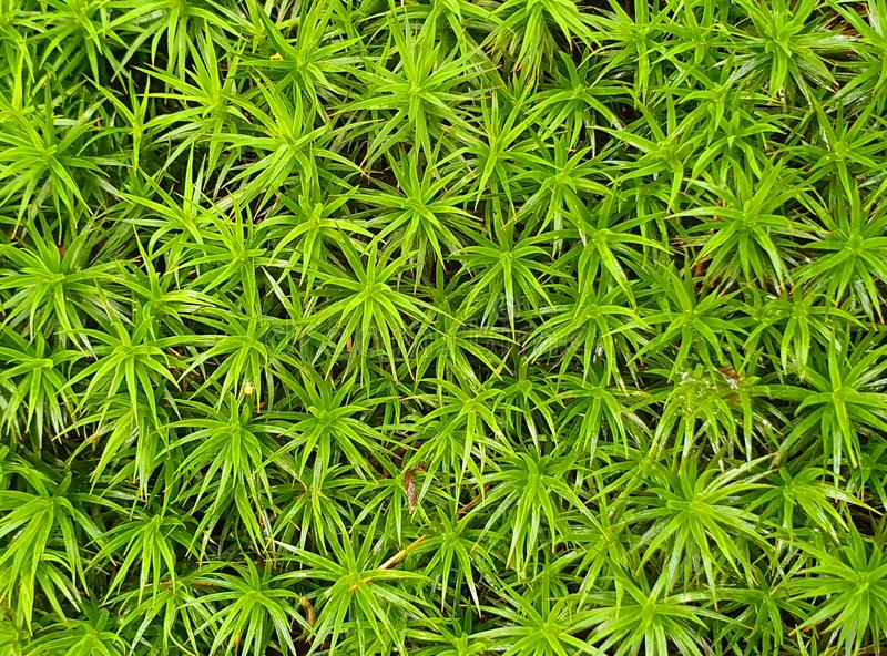 Close up photo of green moss in the forest. Raw, fresg, fresh, intense, color, organized, meadow, wild, untamed, untouched, low, step, hypnotizing, grow stock photography
