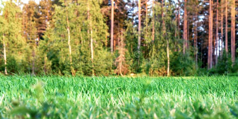 Close up photo of green wheat field in front of the forest illuminated by the Sunset, the woods with young trees of pine, trees. Illuminated by golden Sun going stock photos