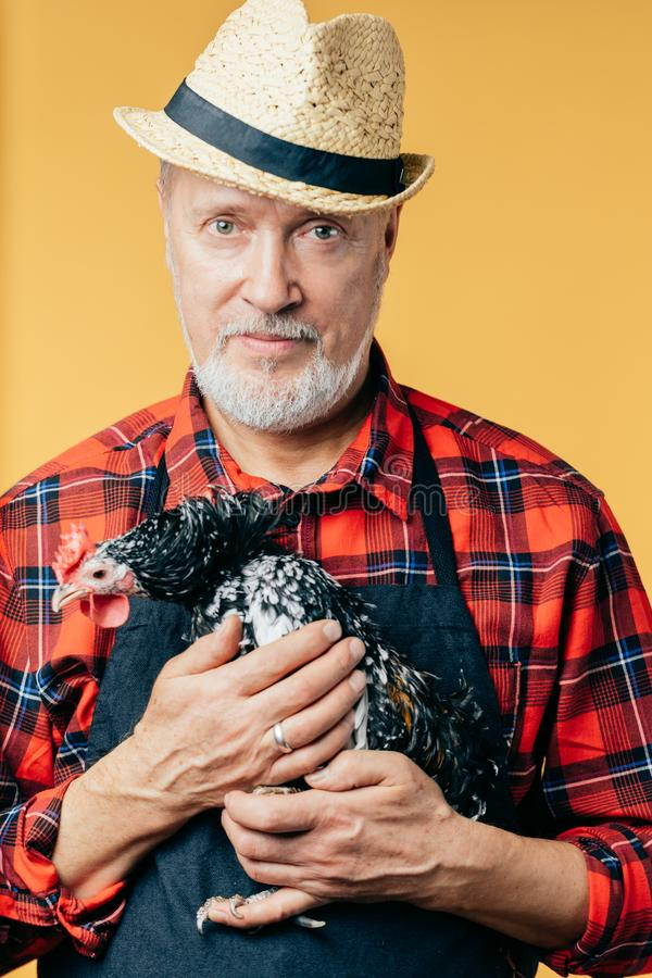 Close up photo. grey-haired old man takes care of hens. Spare time, friendship stock photos