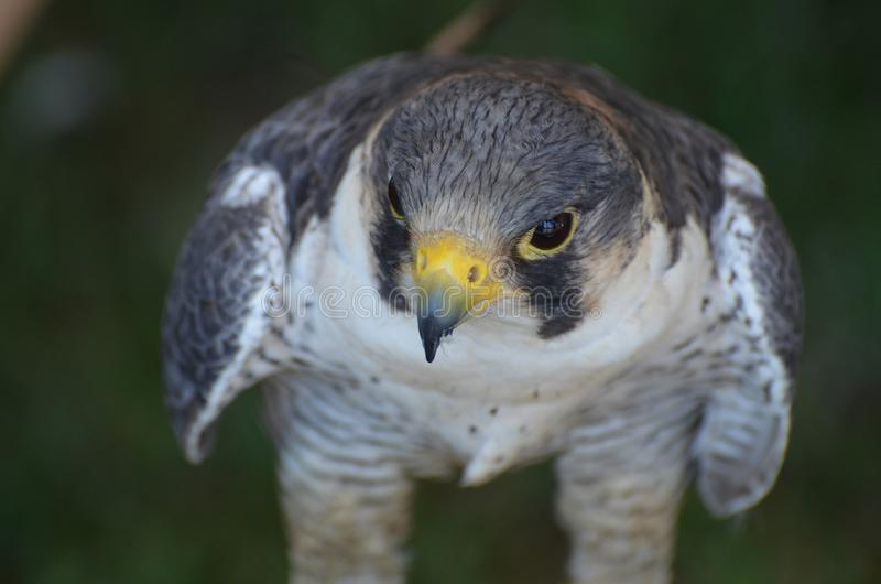 Close up photo of the head of a wild falcon stock photo