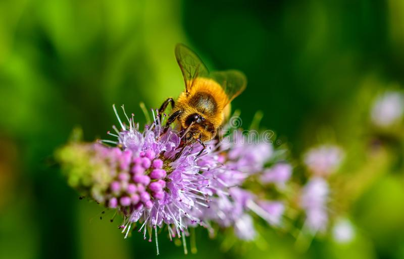 Honey bee on top of the purple flower. Close up photo of honey bee on top of the purple flower stock images