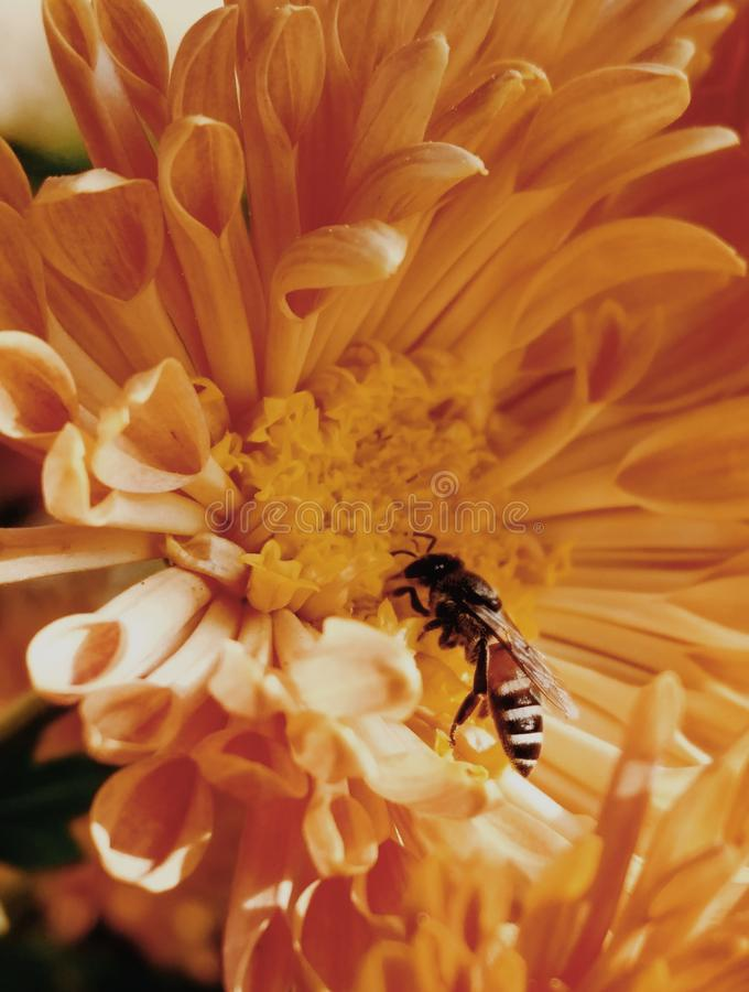 Close-Up Photo of Honey Bee on Yellow Petaled Flowers royalty free stock image