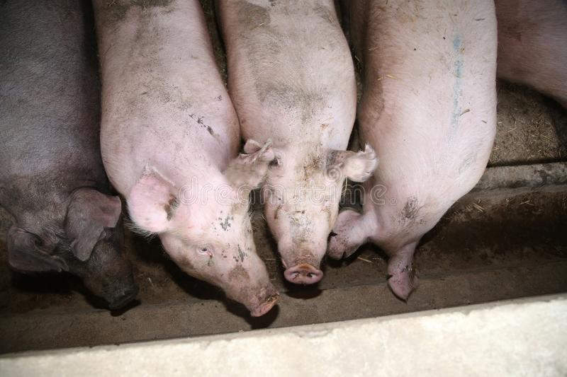 Above photo of mighty pig sows in the barn stock images