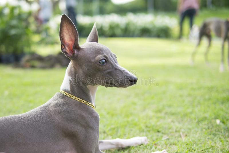 Close up photo of Italian Greyhound puppy with gold collar sitting in the summer park. royalty free stock image