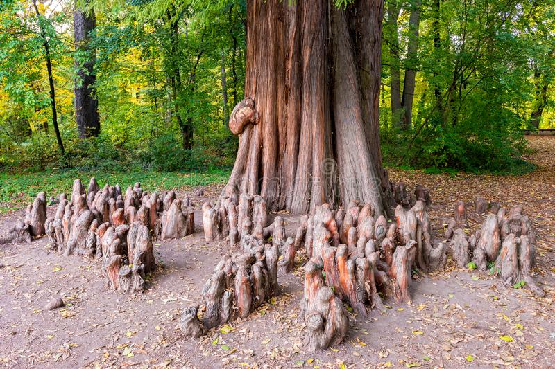 Close up photo of the knees and the trunk of a bald cypress Taxodium distichum. Bald Cypress Taxodium distichum and multiple cypress knees sticking out from the stock photography