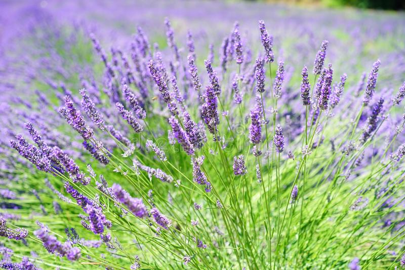 Close-up Photo of Lavender Growing on Field royalty free stock photo