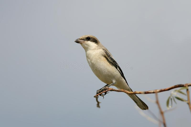 Close up photo of The lesser grey shrike Lanius minor. Sits on the branch on a blue sky background royalty free stock images