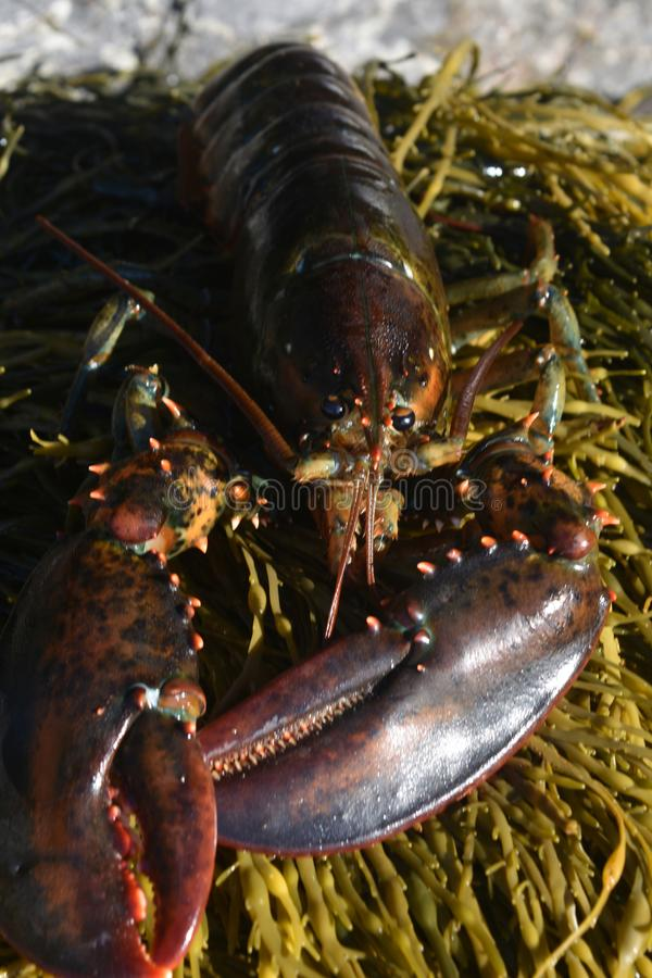 Close up photo of a dark red lobster royalty free stock image