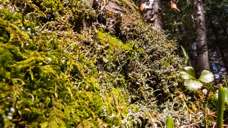 Healthy moss in the bright Canadian sunlight. Close-up photo of a lot of healthy moss in the bright Canadian sunlight of spring 2019 royalty free stock photo