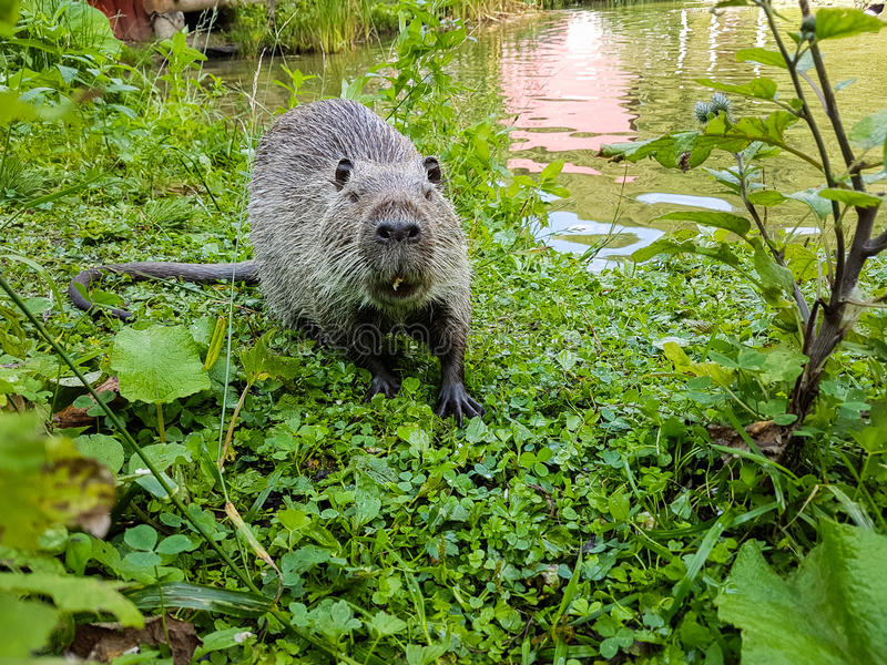 Close up photo of a nutria, also called coypu or river rat, against green background royalty free stock images