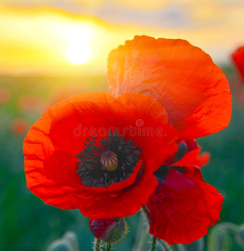 Free Close Up Photo Of Red Poppies At Sunrise. Royalty Free Stock Photography - 135638207
