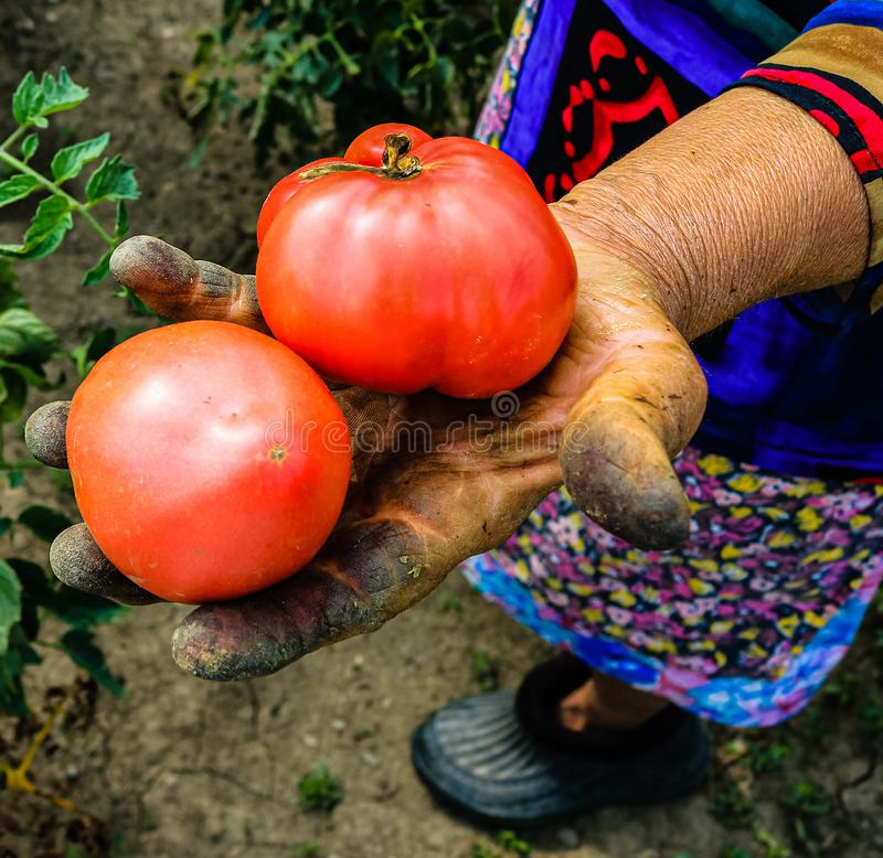 Close up photo of an old woman`s hand holding two ripe tomatoes. Dirty hard worked and wrinkled hand.  royalty free stock photos