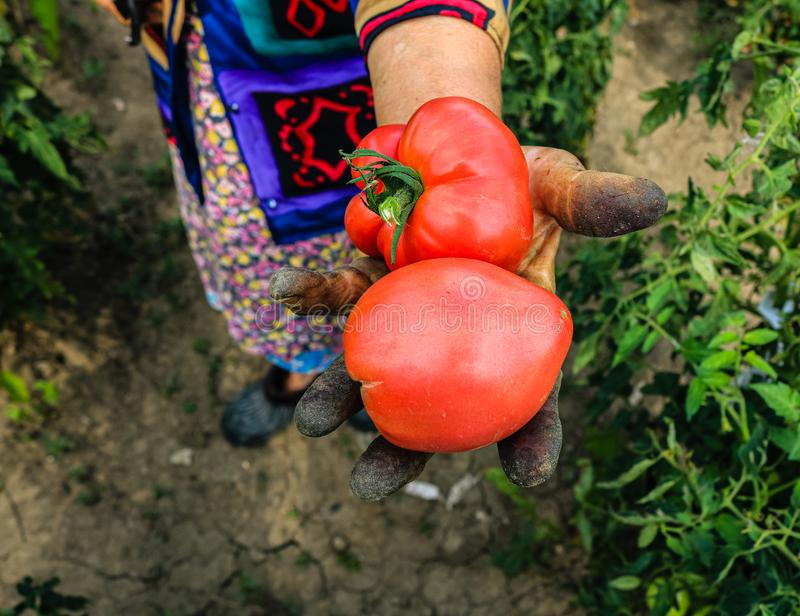 Close up photo of an old woman`s hand holding two ripe tomatoes. Dirty hard worked and wrinkled hand.  stock photos