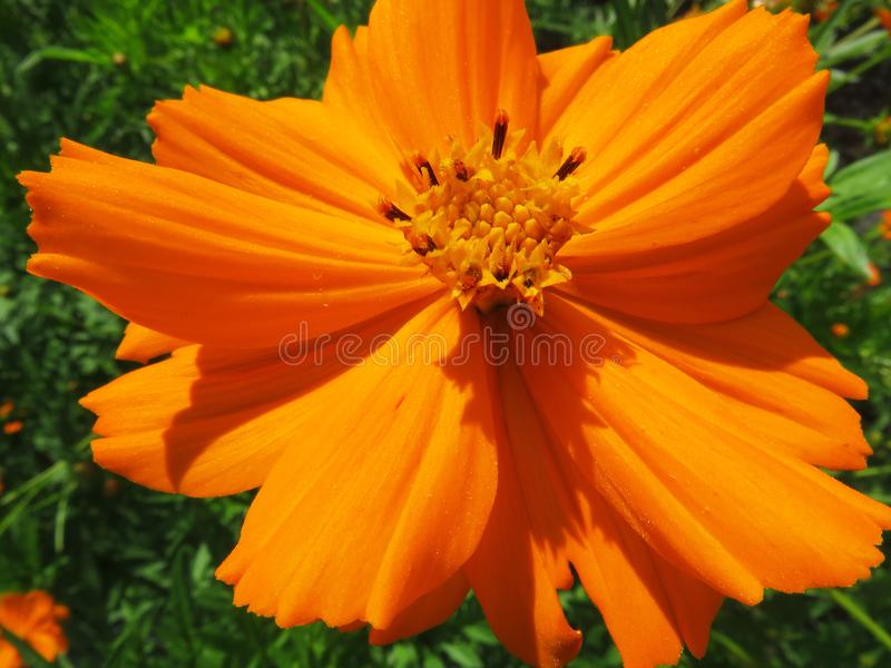 Orange Flower Close-up During August royalty free stock photography