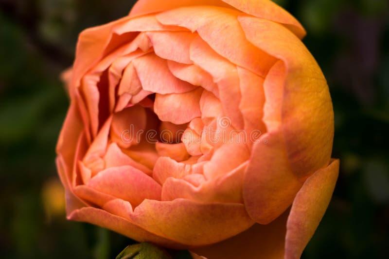 Close Up Photo of Orange Petaled Rose stock image