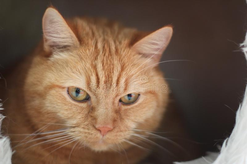 Close Up Photo of Orange Tabby Cat royalty free stock photography