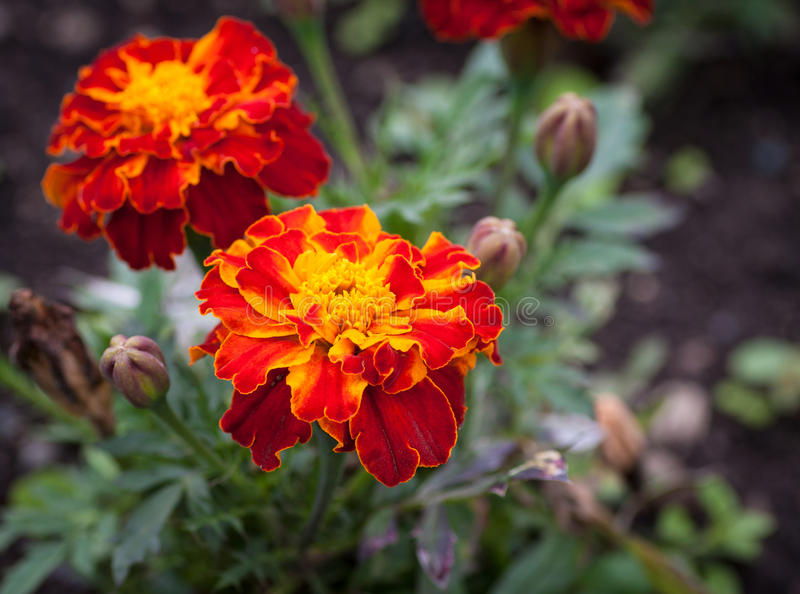 Close-up photo of orange Tagetes flower. Close-up photo of orange Tagetes flower (marigold). Selective focus with shallow depth of field royalty free stock photography