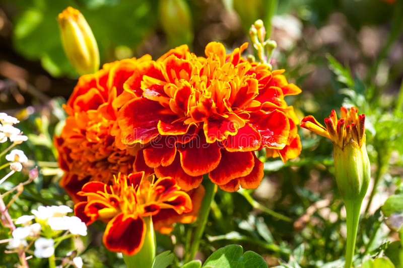 Close-up photo of orange Tagetes flower (marigold). Selective focus with shallow depth of field stock photography