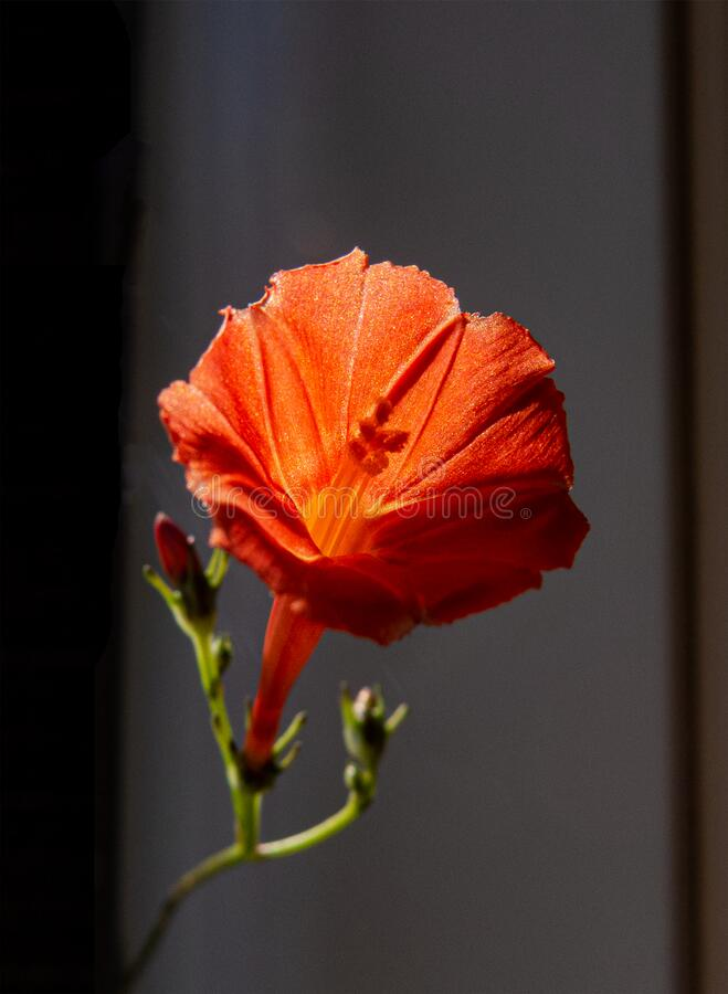 The close-up photo of an orange trumpet flower. In the bright sunlight growing on the tip of a long vines stock images