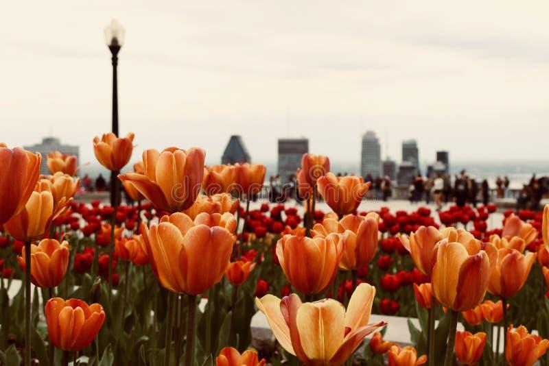 Close-Up Photo of Orange Tulips royalty free stock photography